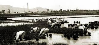 arroz la espiga del palmar es arroz tradicional