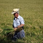 origen de la paella. Cultivo de Arroz en La Albufera